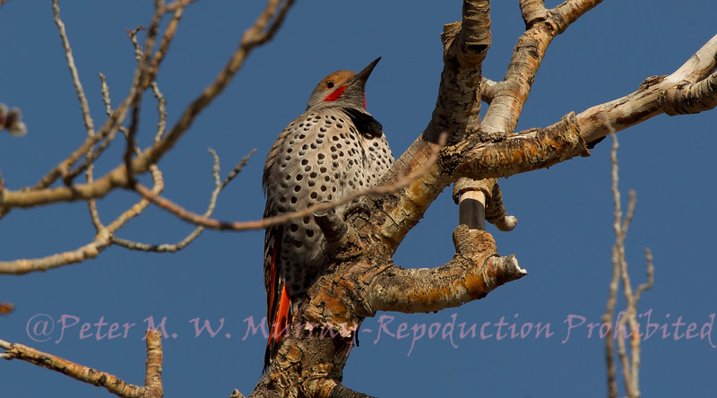 Flicker male..Note the red patch. Aspen Pullout near the Lamar Bridge.