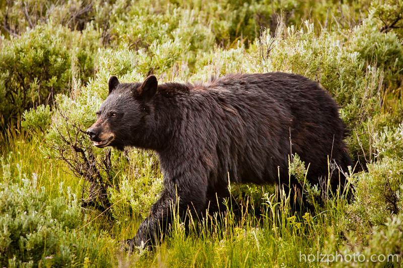 IMAGE: https://photos.smugmug.com/Nature/Yellowstone-2015/i-23F8Wp2/0/L/0I2A3225-L.jpg
