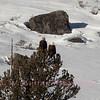 Bald Eagles above the Lamar River