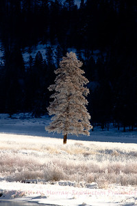 The Round Prairie Tree