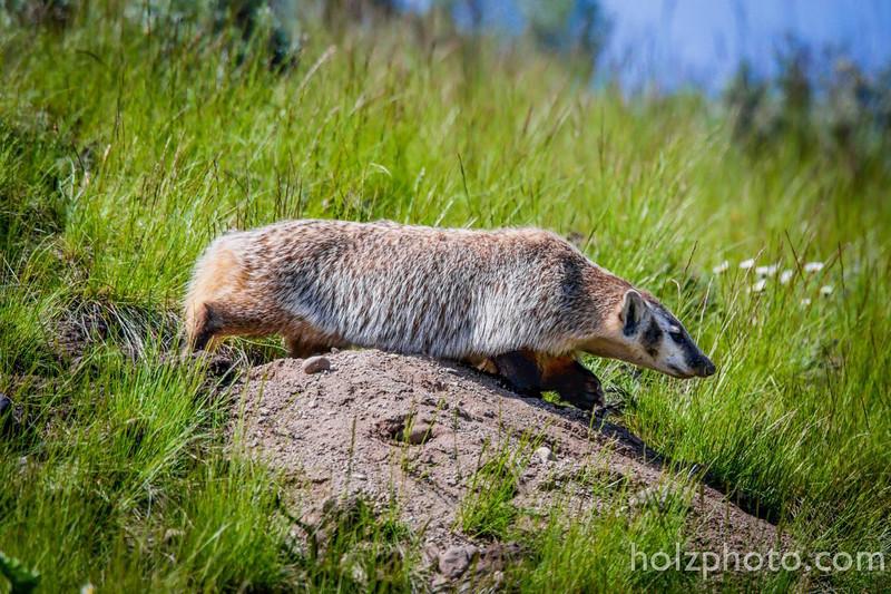 IMAGE: https://photos.smugmug.com/Nature/Yellowstone-2015/i-G6BNCQ9/0/L/13442573_10208393038358202_9094077912258311764_o-L.jpg