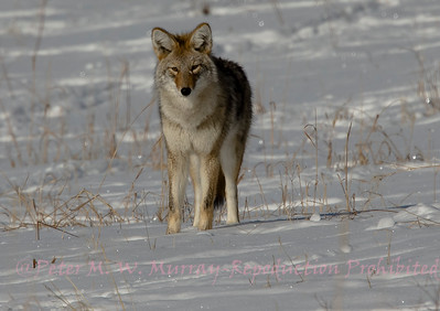 Coyote in winter coat