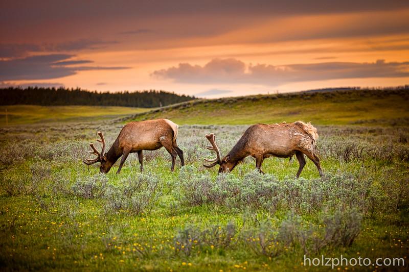 IMAGE: https://photos.smugmug.com/Nature/Yellowstone-2015/i-LTfqNZd/0/L/_B3I0552-L.jpg