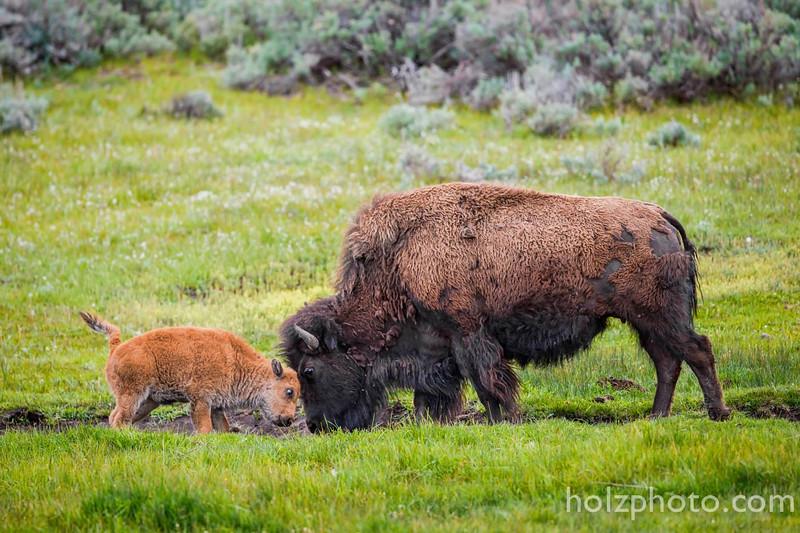 IMAGE: https://photos.smugmug.com/Nature/Yellowstone-2015/i-QbZjCpd/0/L/981456_10205876421524354_6455899695484949525_o-L.jpg
