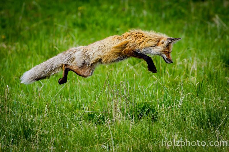 IMAGE: https://photos.smugmug.com/Nature/Yellowstone-2015/i-fwj6Rs6/0/L/12304119_10206927190072911_1004515539755701666_o-L.jpg