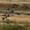 Mallards wing over Soda Butte Creek
