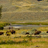 Bison on a bend of  Slough Creek