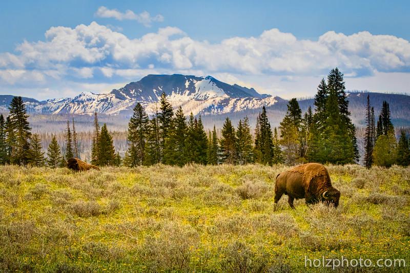 IMAGE: https://photos.smugmug.com/Nature/Yellowstone-2015/i-mJcxMDX/0/L/0I2A0463-L.jpg