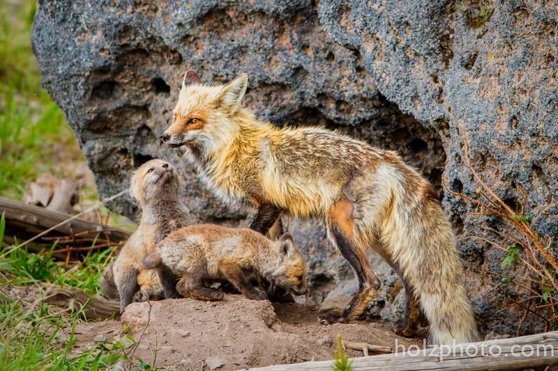 IMAGE: https://photos.smugmug.com/Nature/Yellowstone-2015/i-tH4BXb6/0/L/11416345_10205858540837348_3707824346607044795_o-L.jpg
