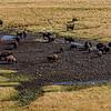 Yellowstone Buffalo 9-17-19_V9A7361