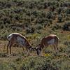 Yellowstone Antelope 9-17-19_V9A7438