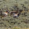 Yellowstone Antelope 9-17-19_V9A7434