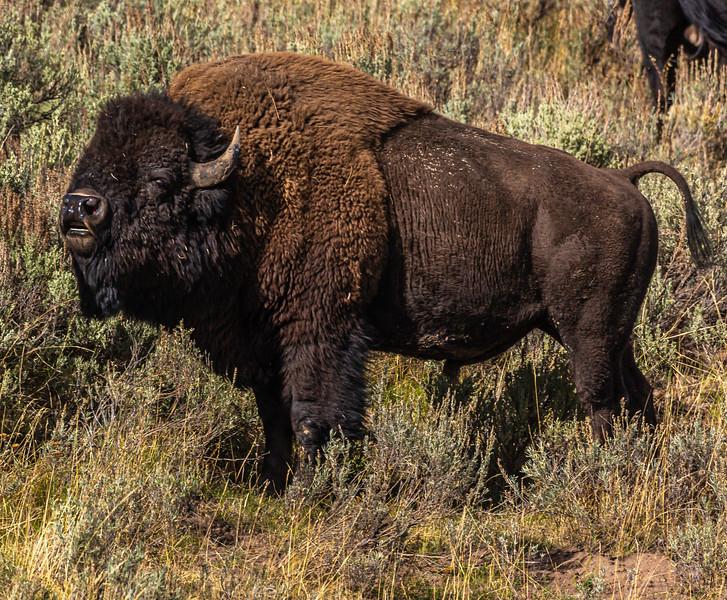 Yellowstone Buffalo 9-19-19_V9A7583