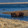 Yellowstone Buffalo 9-18-19_V9A7548