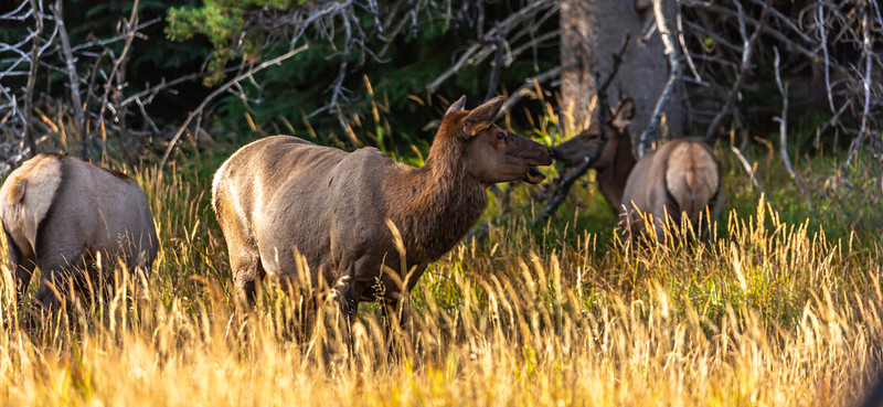 Yellowstone Elk 9-17-19_V9A7454