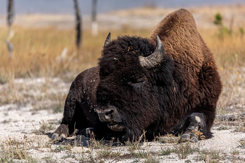 Yellowstone Buffalo 9-18-19_V9A7500