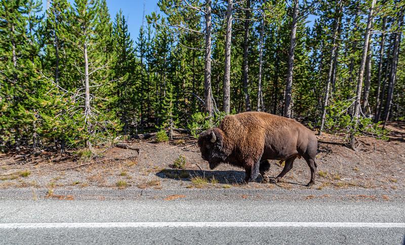 Buffalo-Yellowstone National Park 8-27-2020KV9A8842