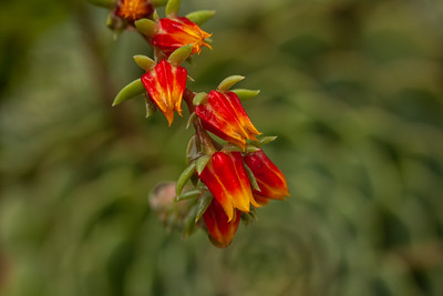 Maloney_mari_cactusflower0284