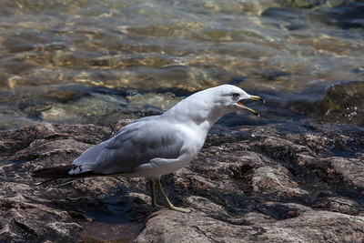 Maloney_Mari_2254_Gull