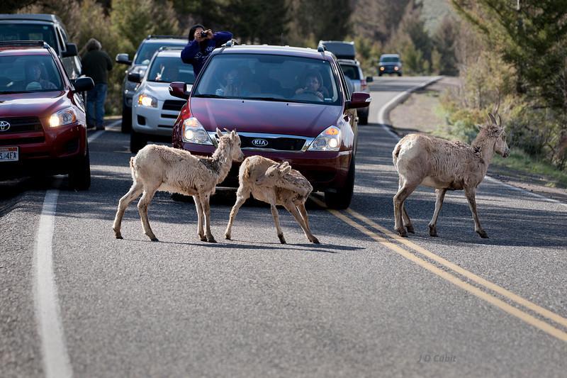 Ewe Turn Blocks Yellowstone Traffic.