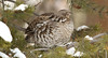 Ruffed Grouse, Bonasa umbellus is found in the Park. We had 3 in the pines East of Pebble Creek.