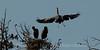 Great Blue Heron on final approach.