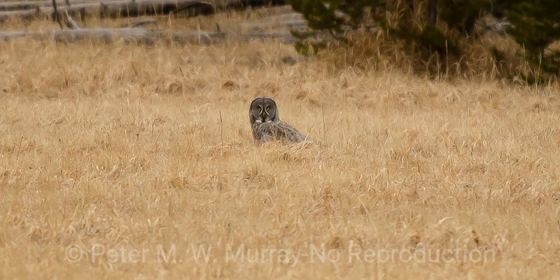 Great Gray Owl on a mouse...perhaps