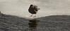 Cinclus mexicanus: American Dipper