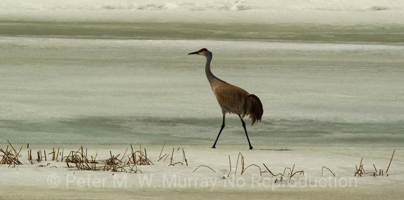 Male Sandhill Crane on what is still a frozen island in Floating Island Pond. 4 14 14