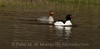 A pair of Common Mergansers.