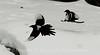 Territorial Magpies.