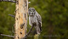 Great Gray Owl out on a limb.
