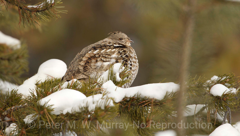 Ruffed Grouse can weigh 1.3 lbs. Creates a low frequency drumming sound and explodes in a noisy departure when disturbed.