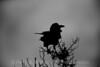 Raven silloutte