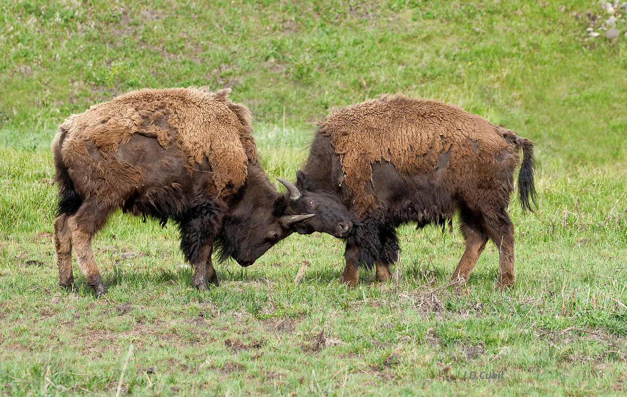 Head lock.  The bison on the left is pushing hard enough to displace the flesh on the forehead of the one on the right.