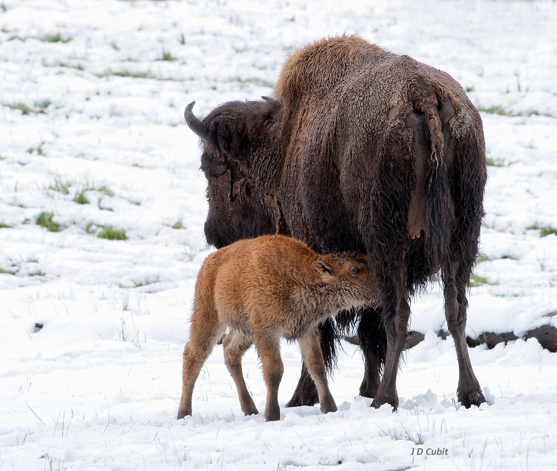 "A ""red dog"" (bison calf) finishes nursing warm milk on a cold snowy day."