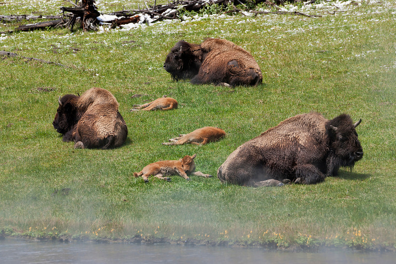 This was the first warm, sunny,  spring day after a stretch of cold, snowy, rainy weather in Yellowstone.  Mothers and calves nap in a meadow next to a  steamy  hot spring.
