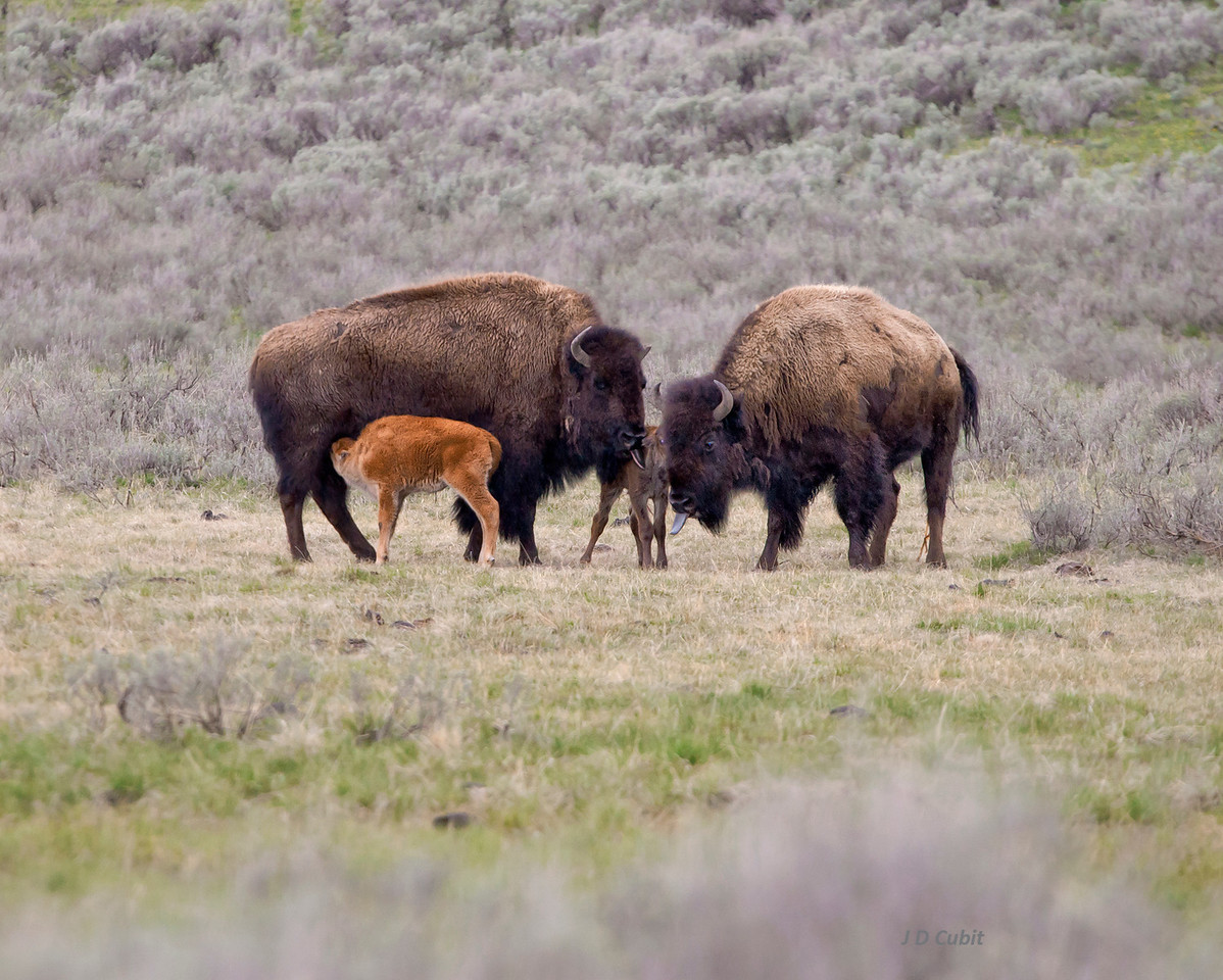 "Bison midwives, last of  3.   The newborn is supported between its mother (on right) and a ""midwife"" mother (at left).  Both mothers are cleaning the newborn calf (note their tongues extended).  The red calf was born a few days earlier."