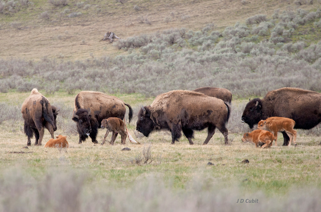 "Bison midwives, 2 of 3.  Still trailing fresh afterbirth, the bison mother checks her new wobbly calf while the other females keep watch.  After it is cleaned up and dried off, the newborn will become a ""red dog"" like the other new calves."