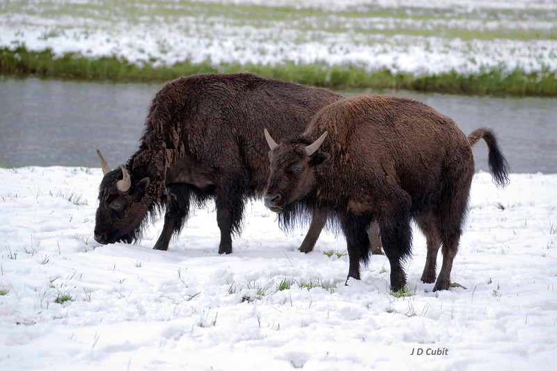 Park Rangers warn that bison raise their tail when they are going to charge.  Bison also raise their tail when they are going to discharge.