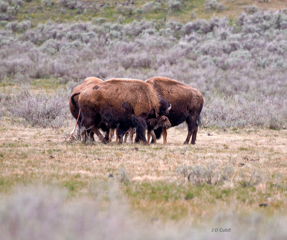 Bison midwives, first of 3.  Two female bison help  the mother (trailing afterbirth) with her newborn calf.  The group surrounded the wobbly calf, helped it stand, and helped lick it clean.  With coyotes, wolves, and grizzlies nearby, this cooperative protective behavior probably provided a survival advantage to the vulnerable young calf.  In this photo the calf takes its first steps to emerge from the protective triangle of adults.