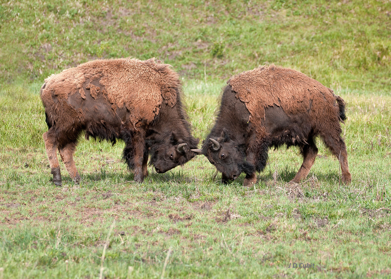 Bison Sparring 1 of 2.  The challenge.