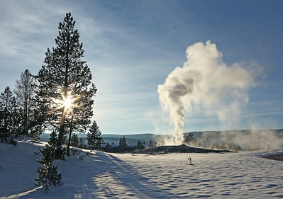 Old Faithful in a late stage eruption with a sunburst in a nearby tree. The steam is settling down and the eruption is just about finished.
