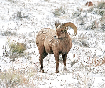 Early in the morning the Big Horn Sheep came down off of the cliffs and they were still covered with snow from the storm the night before. He didn't seem to mind the light layer of snow he was sporting.