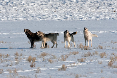 Silver pack howling.  From left to right, Alpha male, male pup, yearling female, and Alpha female