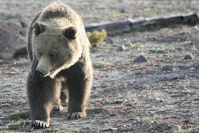 Yellowstone May 2008: Animals