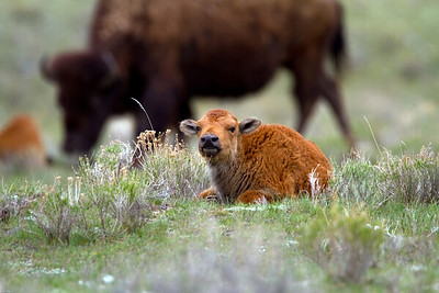 Bison calf in Madison valley