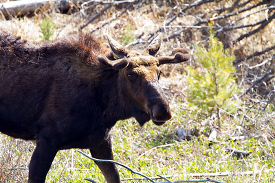 Bull Moose at Petrified tree