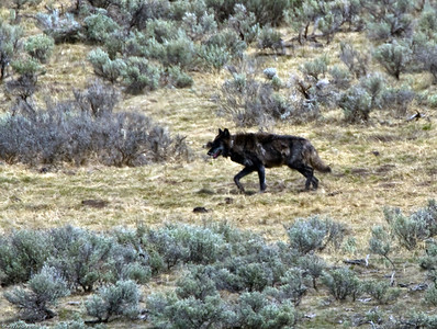 Canyon pack alpha male in Hayden valley