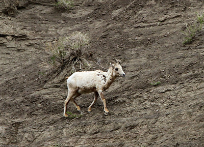 Bighorn Sheep ewe on cliffs above Gardiner MT.